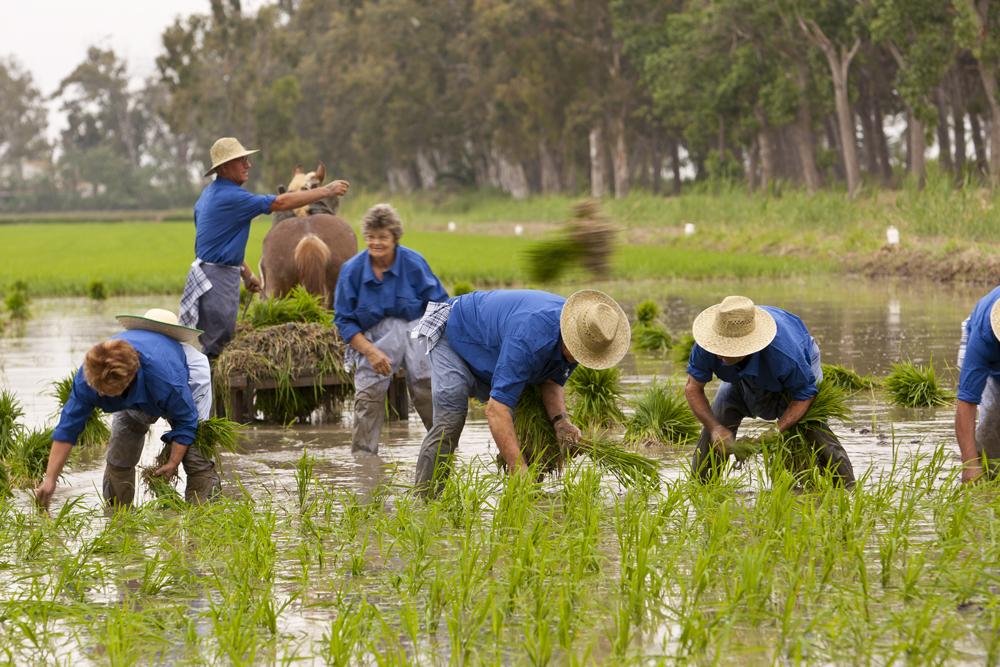 Plantation de riz. Crédit photo: Patronat de Turisme de Terres de l'Ebre