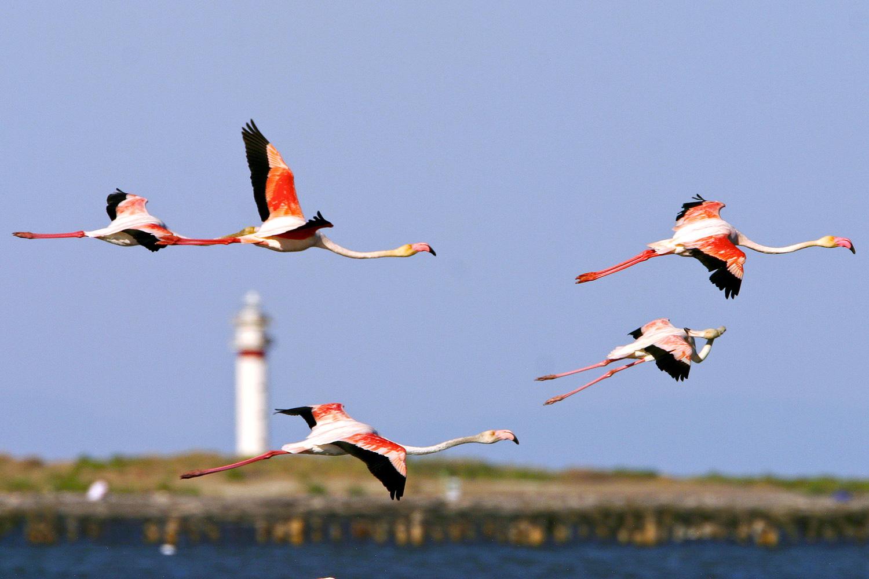 Flamands devant le phare du Fangar, Parc Naturel du Delta de l'Ebre © Mariano Cebolla