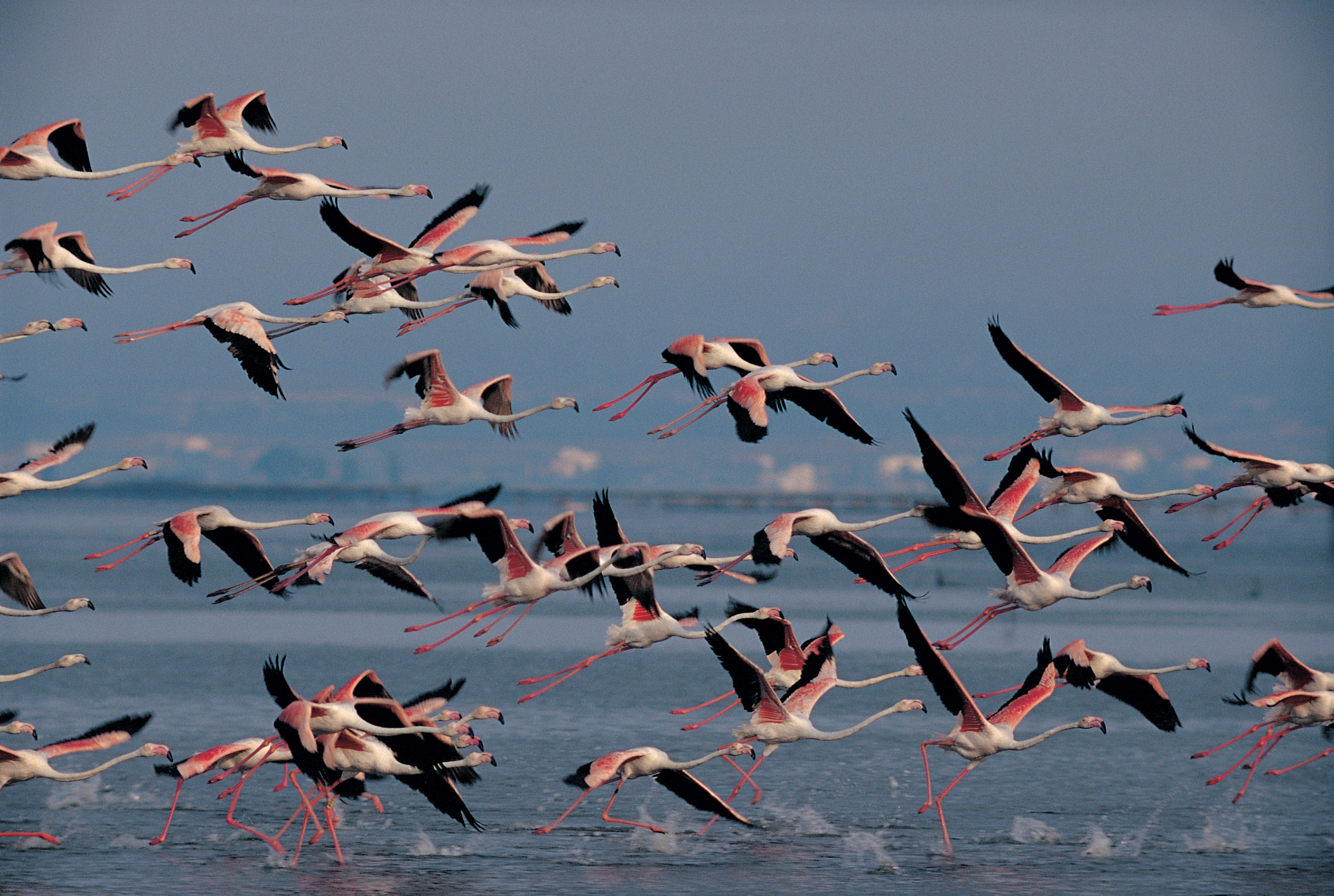 Flamands du Delta de l'Ebre © Ferran Aguilar