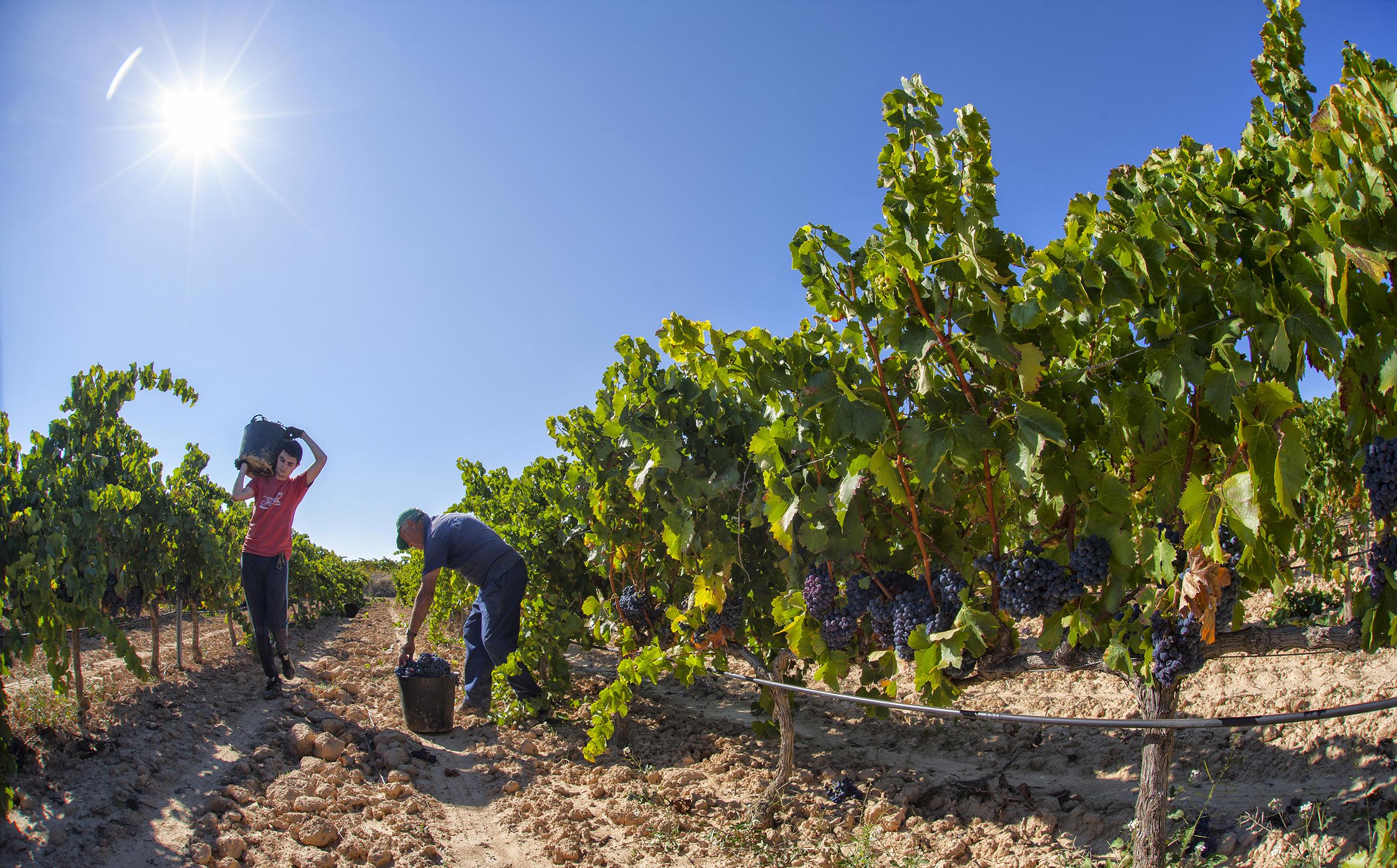 Viticulteurs cueillant du grenache blanc © Patronat de Turisme de les Terres de l'Ebre