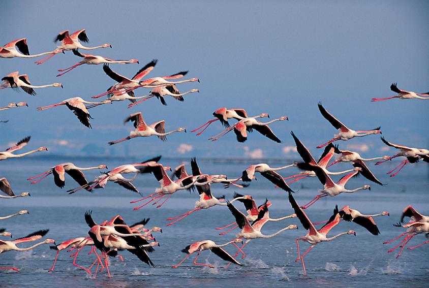 Flamants Delta © Ferran Aguilar