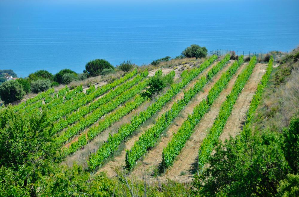 Vignobles en bord de mer