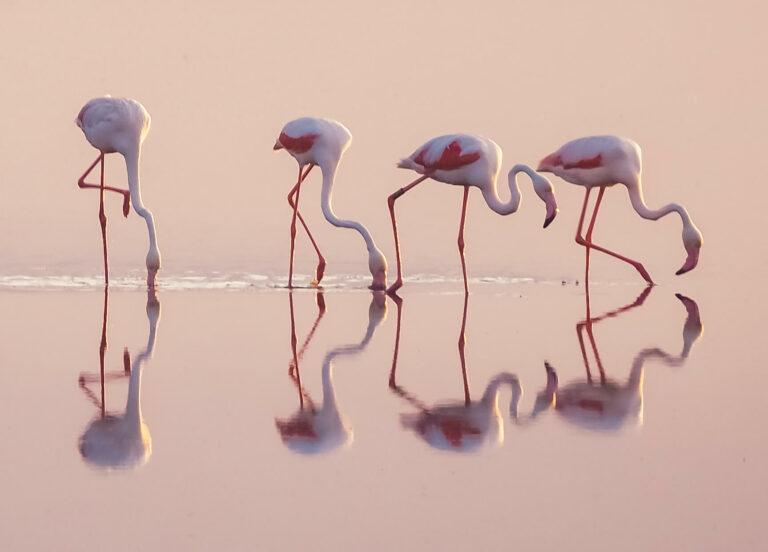 Flamant rose - Delta de l'Ebre